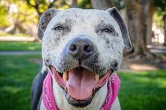 Perro sonriente del pitbull Imagenes de archivo
