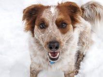 Perro sonriente en nieve Fotografía de archivo