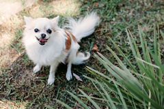Perro sonriente lindo de la chihuahua del primer el pequeño en el jardín en hierba debajo de la palmera está descansando sobre dí foto de archivo libre de regalías