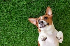 Perro sonriente loco que miente en gras verdes imagen de archivo