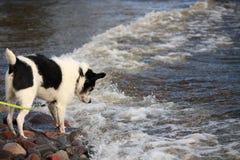 Perro sorprendido por las ondas del lago Imágenes de archivo libres de regalías