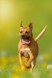 Perro; Staffordshire Terrier americano; El pitbull salta sobre un meado Imagen de archivo