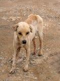 Perro Stinky perdido Imagen de archivo libre de regalías