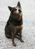 Perro sucio Foto de archivo libre de regalías