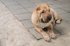 Perro sucio del pei de Shar Foto de archivo libre de regalías