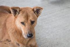 Perro sucio sin hogar de Brown Fotografía de archivo libre de regalías