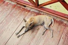 Perro sucio y perezoso en el templo Asia Tailandia Fotografía de archivo