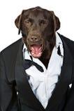 Perro superior en smoking que grita sus órdenes Imagen de archivo