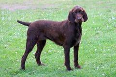 Perro típico de Pudelpointer Fotografía de archivo