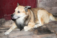 Perro tailandés Fotos de archivo