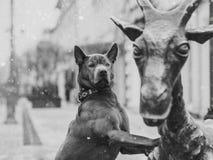 Perro tailandés asombroso del ridgeback que corre rápidamente en bosque en día de invierno soleado de la mañana Imagen de archivo