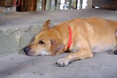 Perro tailandés de Brown que duerme en camino del cemento en el área de mercado callejero imagen de archivo libre de regalías