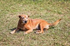 Perro tailandés de la estancia Imagen de archivo libre de regalías