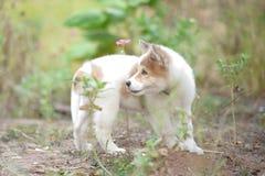 Perro tailandés del kaew de la explosión fotos de archivo