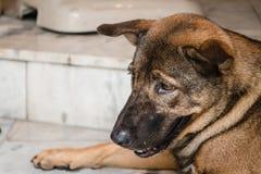 Perro tailandés marrón sin hogar Imagen de archivo libre de regalías