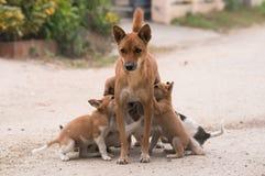 Perro tailandés nacional de amamantamiento Imágenes de archivo libres de regalías