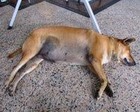 Perro tailandés que duerme en el piso Fotos de archivo libres de regalías