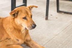 Perro tailandés sin hogar Foto de archivo