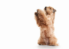 Perro Terrier de trigo revestido suave irlandés fotos de archivo