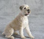 Perro Terrier Imagen de archivo libre de regalías