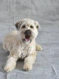 Perro Terrier Fotografía de archivo libre de regalías