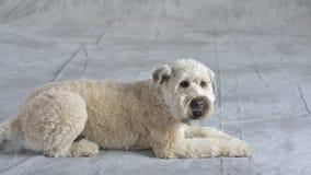 Perro Terrier Imagen de archivo