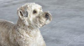 Perro Terrier Fotos de archivo