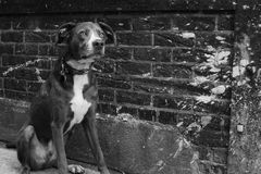 Perro territorial en pasillo céntrico urbano del Grunge del ladrillo en negro Foto de archivo libre de regalías
