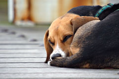 Perro tonto Foto de archivo libre de regalías