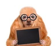 Perro tonto loco con los vidrios divertidos detrás del cartel en blanco Imágenes de archivo libres de regalías