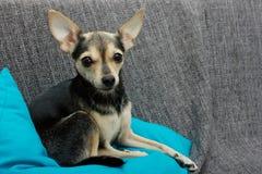 Perro Toy Terrier fotos de archivo