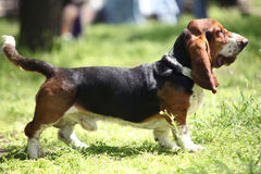 Perro tricolor de la limusina de Basset Hound imágenes de archivo libres de regalías