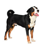Perro tricolor de Sennenhund Appenzeller aislado en blanco Imágenes de archivo libres de regalías