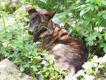 Perro tricolor tailandés Foto de archivo libre de regalías