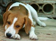 Perro triste, beagle Fotografía de archivo libre de regalías