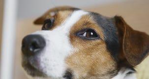 Perro triste de Jack Russell Terrier que mira la cámara metrajes
