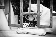Perro triste detrás de la puerta del hierro Foto de archivo libre de regalías