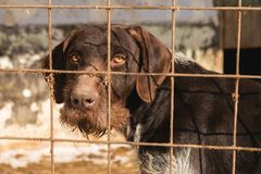 Perro triste detrás de las barras, perro de caza con los ojos tristes imagen de archivo
