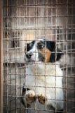 Perro triste detrás de una cerca del hierro Imagen de archivo libre de regalías