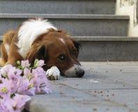 Perro triste lindo Imagen de archivo libre de regalías