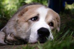 Perro triste Perro de pastor asiático central Imagen de archivo