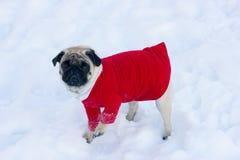 Perro triste precioso del barro amasado en un suéter rojo en la nieve blanca Fotografía de archivo libre de regalías