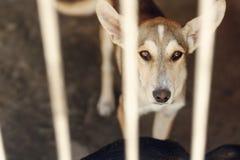 Perro triste que mira con los ojos infelices y los oídos grandes en jaula del refugio, Fotografía de archivo libre de regalías