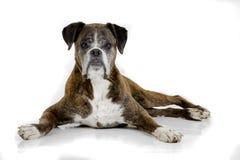Perro triste viejo del boxeador Foto de archivo libre de regalías