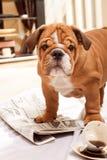 Perro, un periódico y café del derramamiento. fotos de archivo