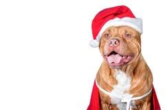 Perro, un pitbull en traje del ` s de Papá Noel, un año del perro, una tarjeta de Navidad Imagen de archivo libre de regalías
