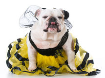 Perro vestido como una abeja Imagen de archivo libre de regalías