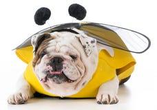 Perro vestido como una abeja Imagenes de archivo