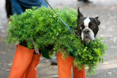 Perro vestido en el traje del animal doméstico de Chia para Halloween Imagenes de archivo