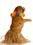 Perro vestido encima como de bailarín del hula Imagenes de archivo